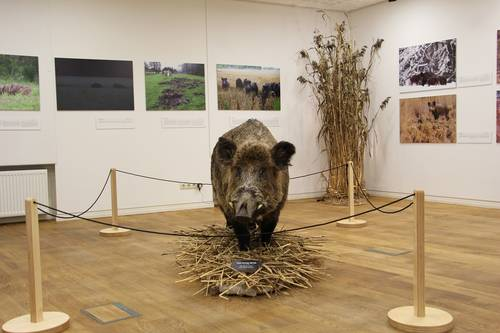 Wild Boar – a Real Pig